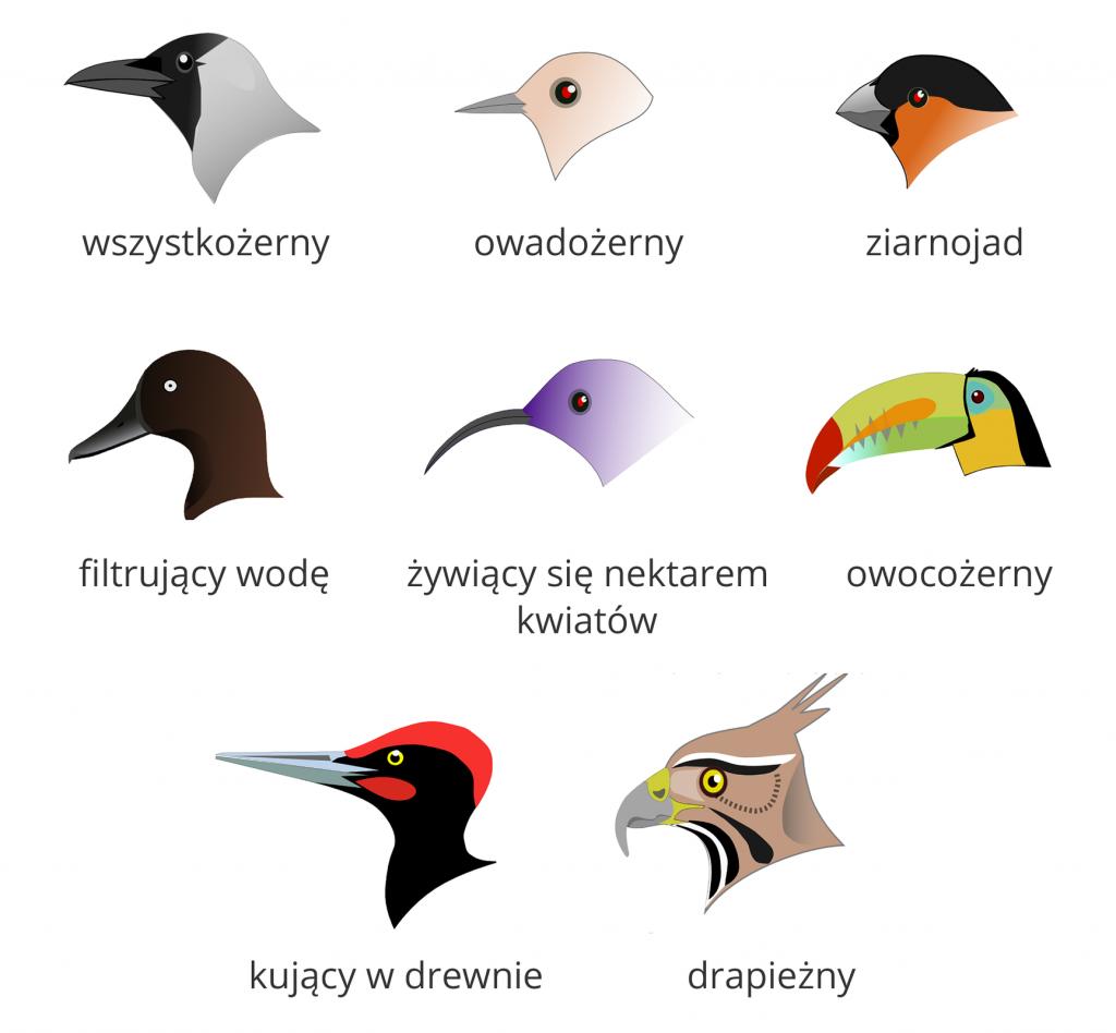 Porównamy dzioby ptaków.